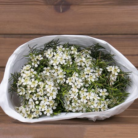 Product Wholesale Waxflower Ofir