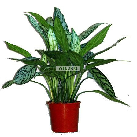 Product Aglaonema