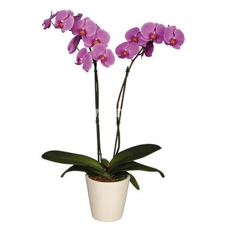 Bouquet Iilac orchid