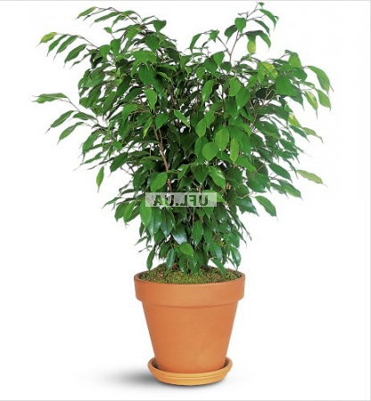 Product  Plant Ficus