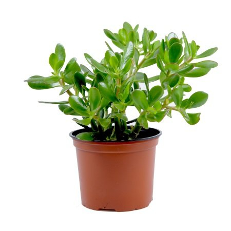 Product Crassula