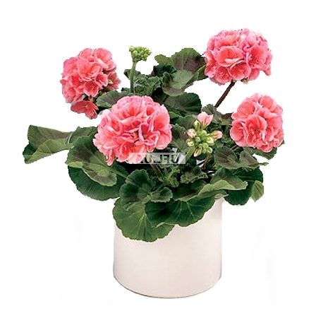 Product Pelargonium