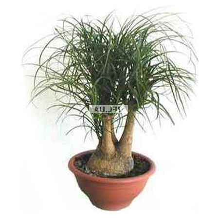Product Beaucarnea