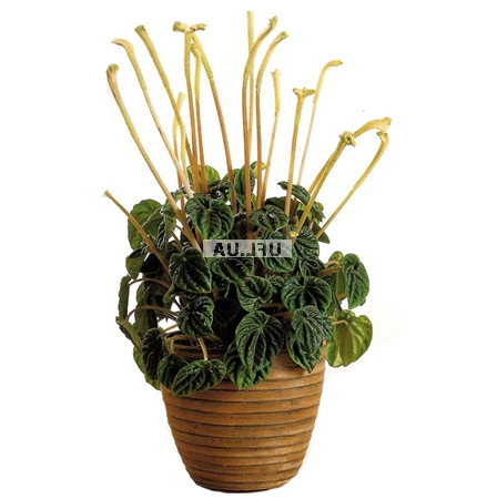 Product Peperomia