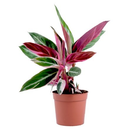 Product Calathea Stromanta