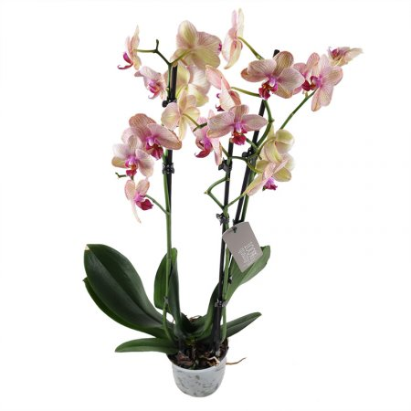 Product Pink and yellow orchid