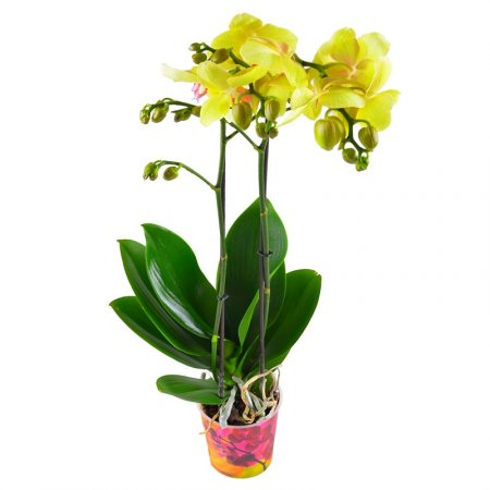 Product Orchid lemon