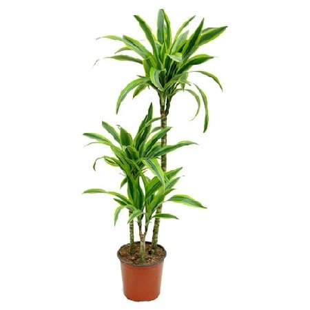 Product Dracaena Lemon Lime (above 1m)