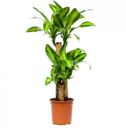 Product Dracaena Massangeana (above 1m)