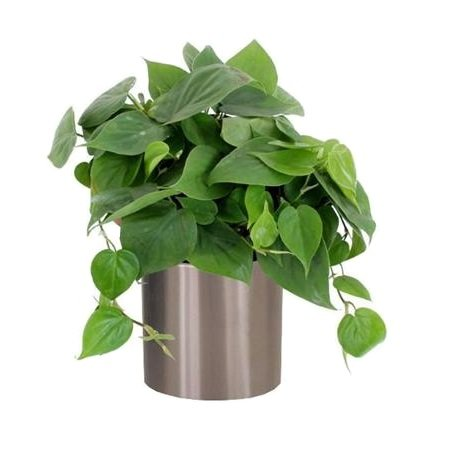 Product Philodendron