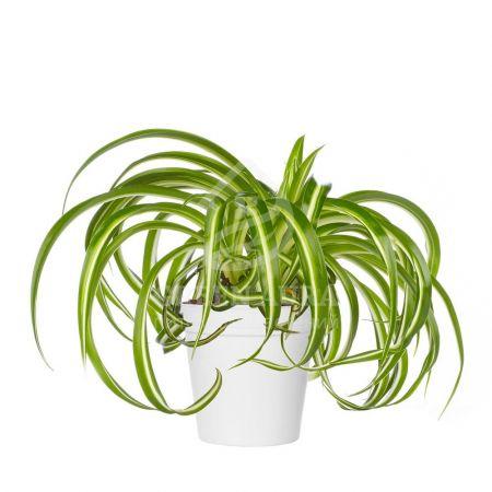Bouquet Chlorophytum