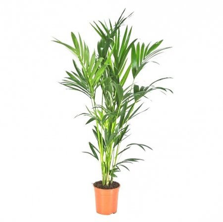 Product Howea (above 1m)