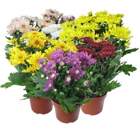 Product Chrysanthemum