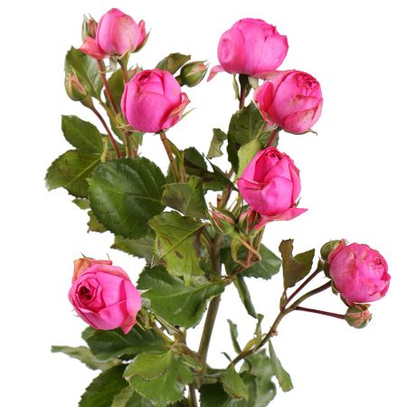 Buy a beautiful bouquet of shrub roses with delivery
