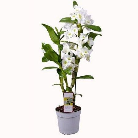 Order  white Dendrobium Orchid with the same day delivery