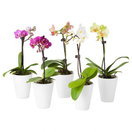 Product Orchid Phalaenopsis 1 stem
