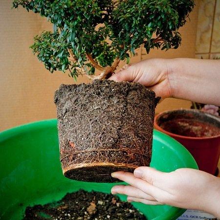 Product Пересадка великих рослин