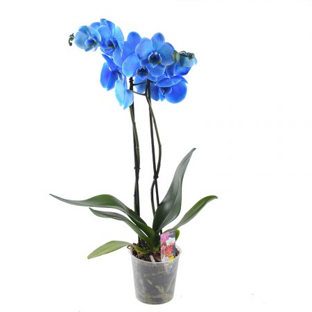 Product Blue orchid