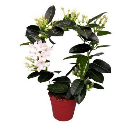 Bouquet Stefanotis